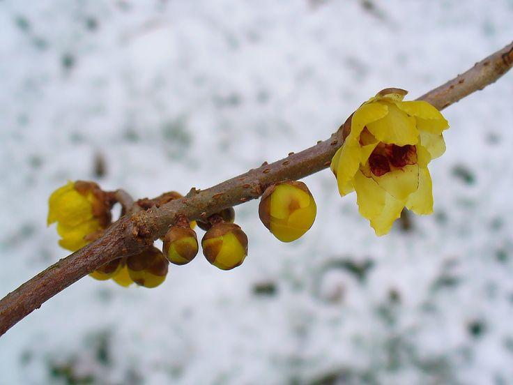 giardini e piante: Chimonanthus praecox o calicanto invernale