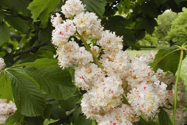 Le nom générique Aesculus est un mot latin qui désigne tout arbre producteur de fruits destinés au bétail.