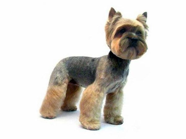 Learn Smartly And Enjoy Yorkie Grooming Sessions