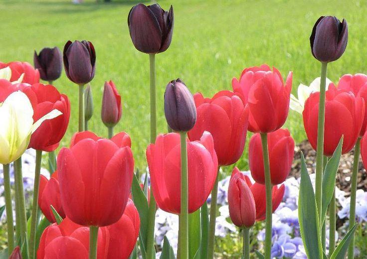 Schwarze Tapete Bestellen : ?ber 1.000 Ideen zu ?Rote Tulpen auf Pinterest Tulpe, Rosa Tulpen