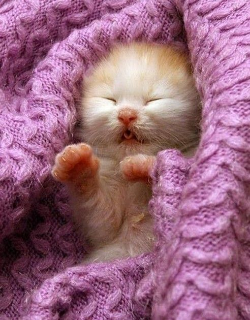 Kitten in Radiant Orchid Colour   nexter