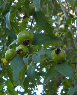 Gabiroba is a small fruit tree native to Southern and Western Savanna region of Brazil