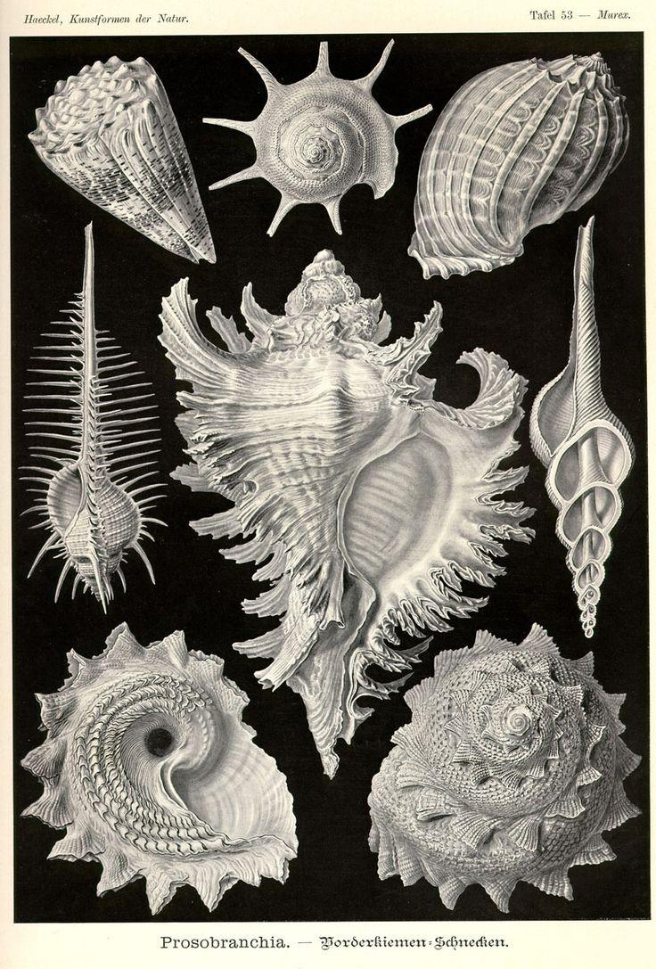 Prosobranchia by Ernst Haeckel; Kunstformen der Natur, 1900