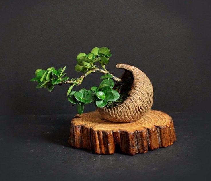 "Natal Plum Mame pre bonsai ""Summer'17 Crescent Collection"" from Samurai-Gardens #LiveBonsaiTreecom"