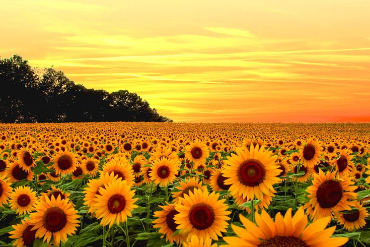 Screensaver for iphone 5 download free - 17 Best Ideas About Sunflower Wallpaper On Pinterest
