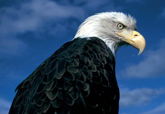 June 20, 1782  The bald eagle was officially designated as the national emblem of the United States by the founding fathers at the Second Continental Congress.