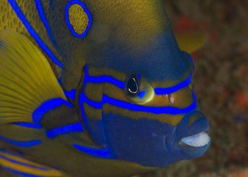 Blue-Ringed Angelfish    ;)