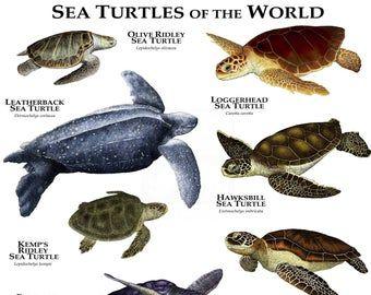 Tortugas del Mundo Poster Print   – Sea turtles