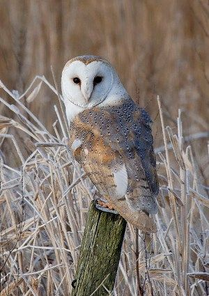 Owl calls: tell your tawny from your barn owl