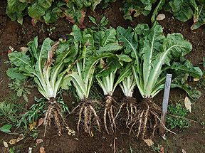 Growing Belgian Endives for Fresh Winter Greens - Part 1 - Planting in the spring