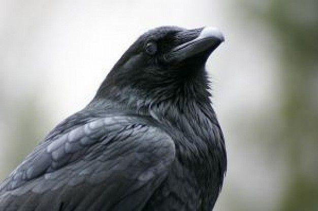 corvo - Cerca con Google