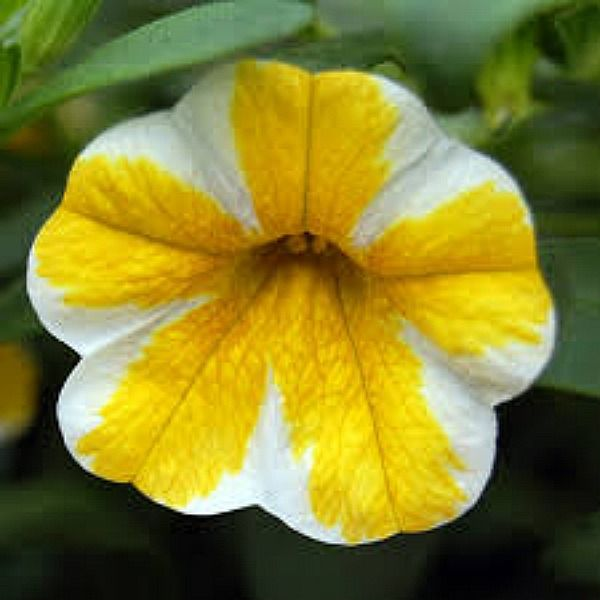 Petunia 39 calibrachoa superbells lemon slice 39 but mid - Calibrachoa superbells ...
