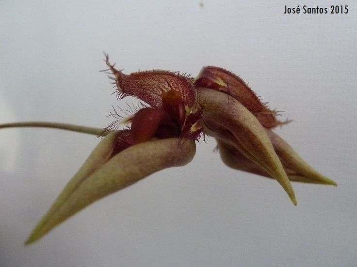 Bulbophyllum pingtungensis