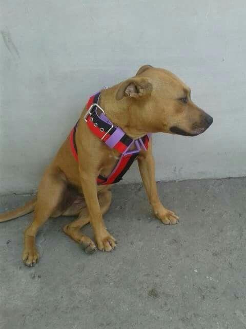 #crazydog #dog #pitbull #lovedogs #poland