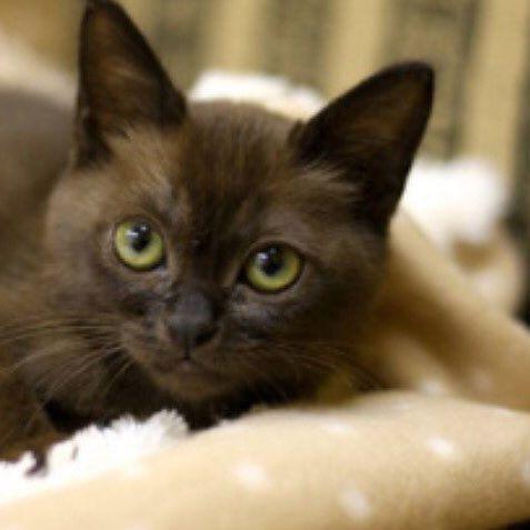 #子猫 #cat #バーミーズ#🐈 #可愛い#愛猫#愛猫家