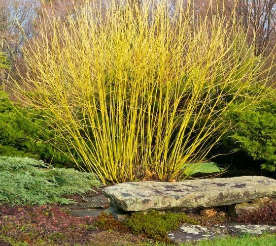 Buds Yellow Twig Dogwood Cornus sericea Flaviramia buds yellow 'Budd's Yellow' is a yellowtwig dogwood cultivar that is noted for its bright yellow twigs in winter. It is a rapid-growing, multi-stemme