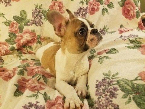 French Bulldog puppy for sale in HOUSTON, TX. ADN-62090 on PuppyFinder.com Gender: Female. Age: 14 Weeks Old