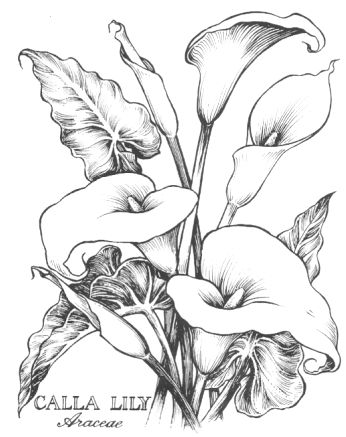cala lillies in pencil | Calla Lily Botanical