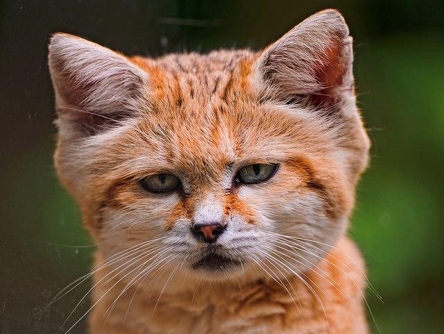 Cat That Looks Like A Fox Sand Cat. Looks ...