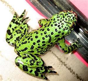 yet another Poison Dart Frog