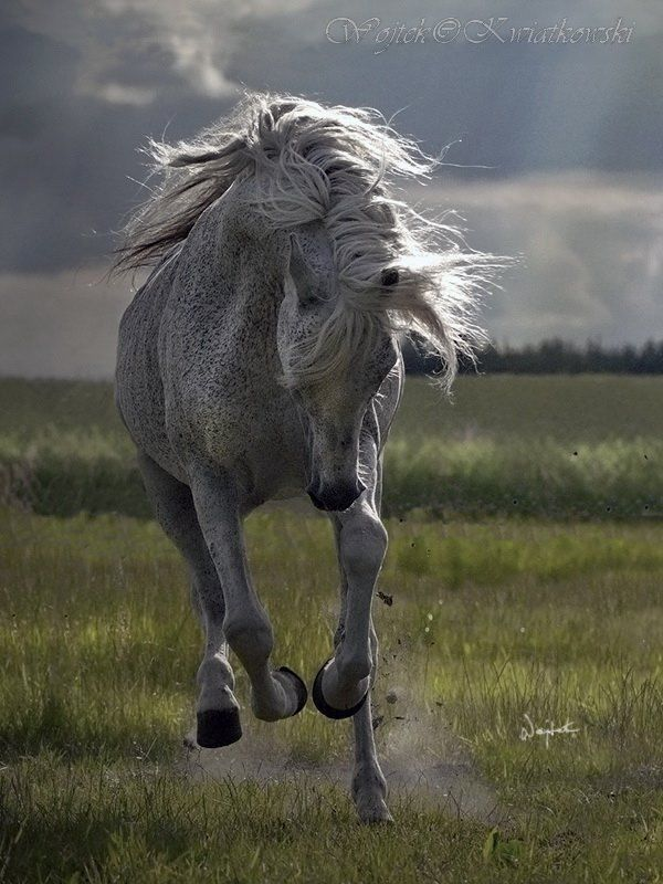 Flea-bitten Arab Horse, hest, animal, Grey Beauty, beautiful, gorgeous
