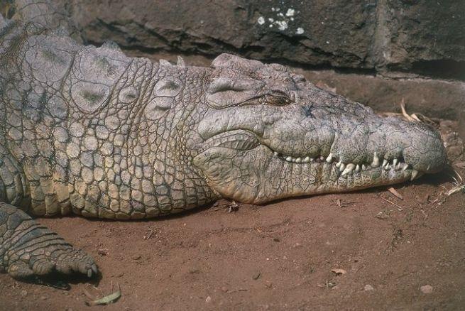 Coccodrillo del Nilo: la vita di un predatore