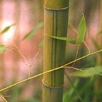 Bambou géant : Phyllostachys viridis sulfurea