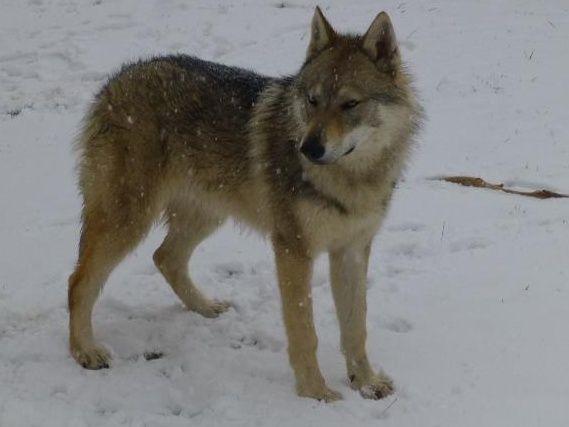 Tschechoslowakische Wolfshund Tschechoslowakische Wolfshunde, Welpen mit FCI Papieren zu verkaufen, im 11-12/2013. Preis 1000-1500Euro. Ich nehme jetzt Reservierungen an. Die Welpen kommen von