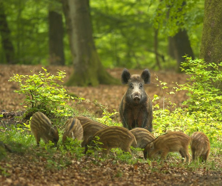 Wild boar with young at Veluwe National Parc, The Netherlands