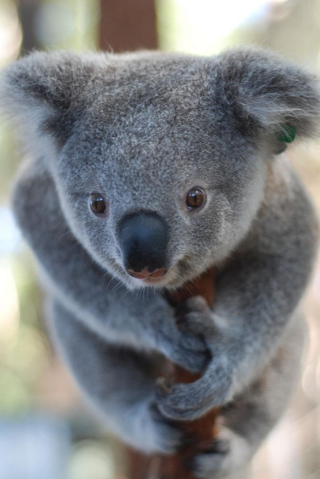 """According to the Koala Hospital, """"In July 2010 he was released into a safe area and appears to have settled well in his new home in the bush."""""""