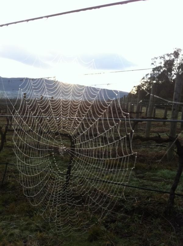 Spider making sure the sun rises at the Thousand Candles vineyard.: Candles Vineyard, Sun Sets, Spider Making, Sun Rises