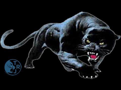 Chatouiller Le Jaguar... On y laisse des plumes....