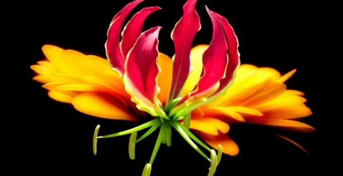 Tanaman Bunga Gloriosa memiliki harga yang cukup mahal