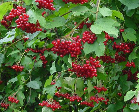 Viburnum bush, bright red berries
