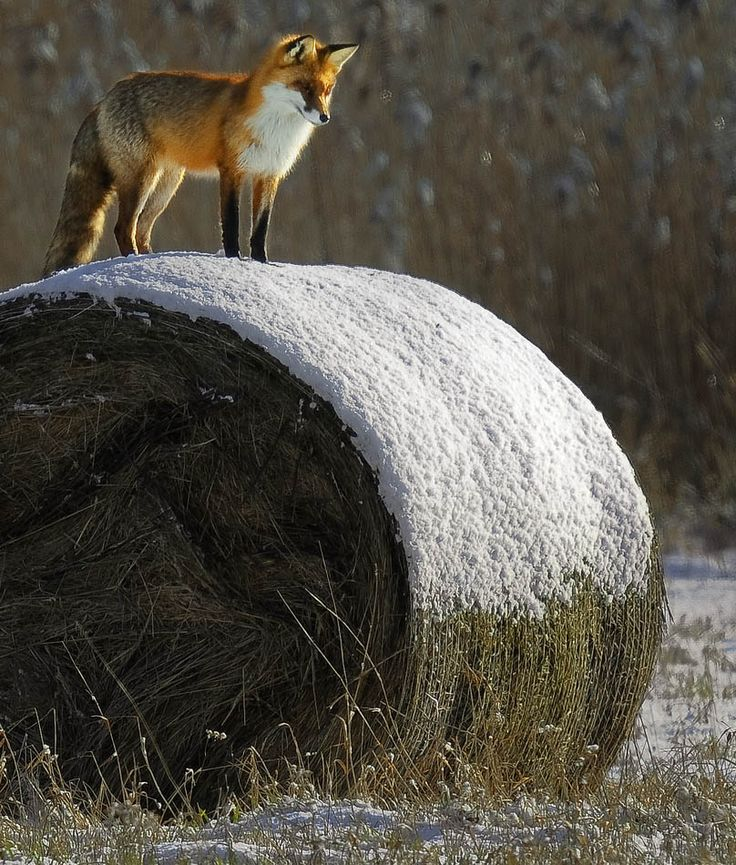 fox in winter