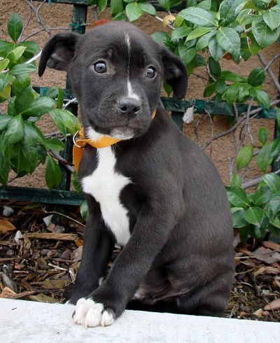 Lab-boxer mix