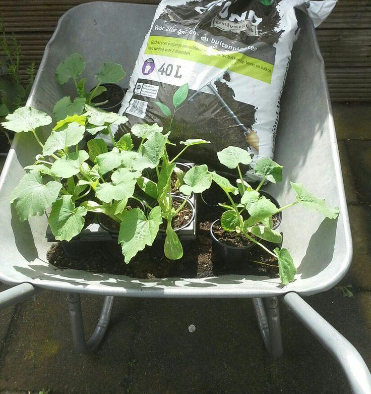 De courgette planten zijn al goed gegroeid, nu is het tijd om ze nog een keer te verpotten voor dat ze in de volle grond worden gezet.