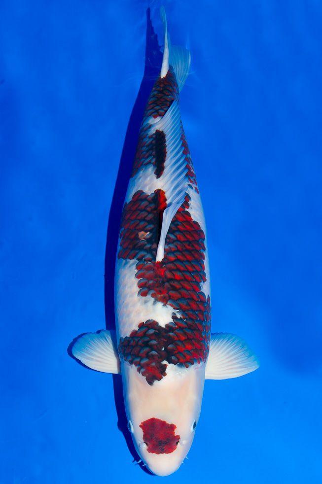 83 besten teich fische im fisch teich bilder auf pinterest for Wassertiere im teich