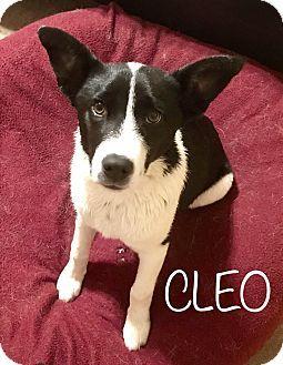 Tempe, AZ - Corgi/Border Collie Mix. Meet Cleo, a puppy for adoption. http://www.adoptapet.com/pet/18199896-tempe-arizona-corgi-mix