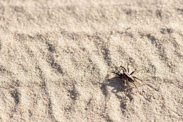 Spiders at the Beach!   Let's look at some of the eight-legged creatures you might encounter on your next trip to the water's edge, whether it be lake, river or ocean. #TerminixBlog