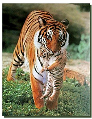 This beautiful poster captures wild Bengal Tiger holding a cub in his mouth which is sure to grab lot of attention. White Bengal tigers have a rare genetic anomaly and always been extremely rare in wild, but their striking beautiful color has made them popular with zoos and circuses. This poster would help to add a class and beauty to your walls. This poster will help to add an instant unique character to your wall.
