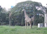 Mysore Zoo The Giraffe