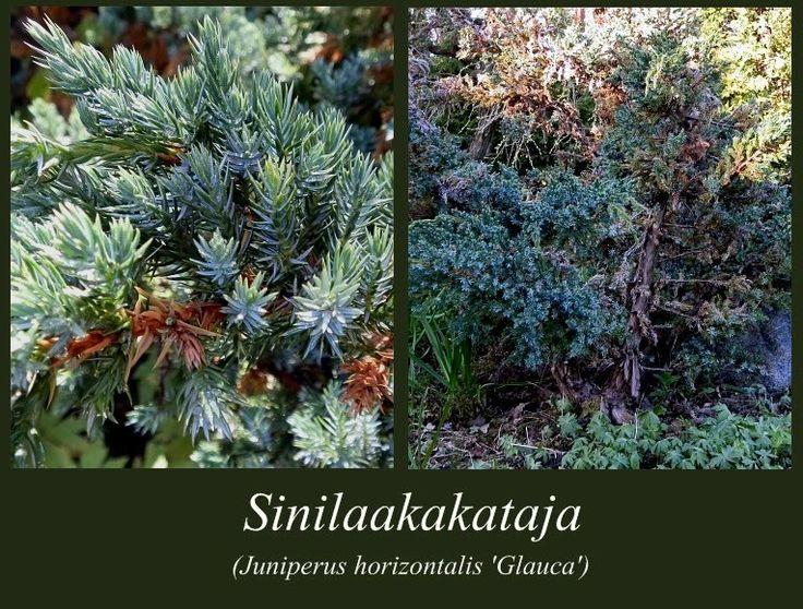 Sinilaakakataja - puulajipuisto