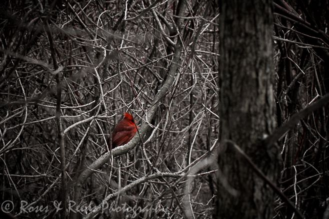 Cardinal playing hide and seek! Selective black and white. It's just cropped in tight as I don't have a zoom.