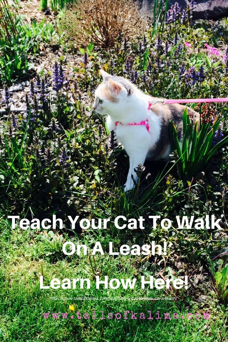 Teaching A Cat To Walk On A Leash Tails Of Kali Ma Therapy Cat Cat Leash Cat Training