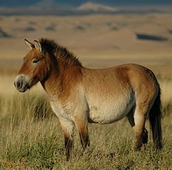 Przewalski's horse (pronounced /ʃɨˈvælski/ shə-VAL-skee or /zɨˈvɑːlski/ zə-VAHL-skee; Khalkha Mongolian: тахь, takhi; Ak Kaba Tuvan: [daɣə//daɢə] dagy; Polish: [pʂɛˈvalski]; Equus ferus przewalskii)[2] or Dzungarian horse, is a rare and endangered subspecies of wild horse (Equus ferus) native to the steppes of central Asia.[3] At one time extinct in the wild (in Mongolia, the last wild Przewalski's horses had been seen in 1966), it has been reintroduced to its native habitat in Mongolia