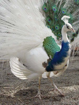 This is not albino but is mistaken for one often. What separates an albino from a whit peacock is the color of the skin beneath the feathers, a white has colored skin and an albino has very pale skin with no markings, this is a cross between the white peacock and the blue, the results can be spectacular.