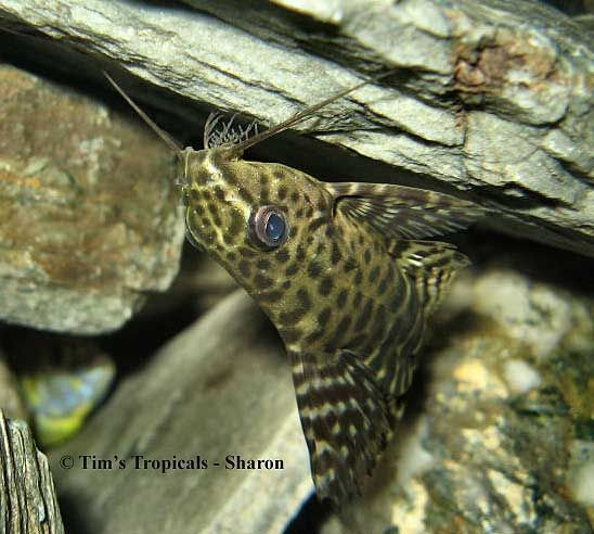 140 best catfish pleco i like images on pinterest fish for Fish tank catfish