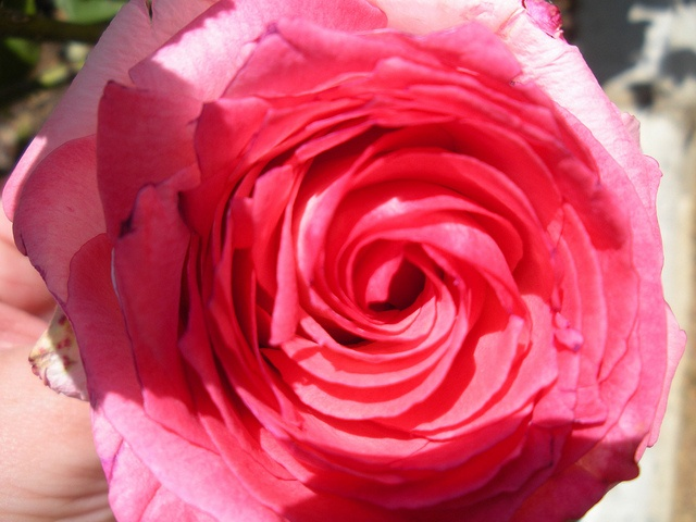 Rose from Spain