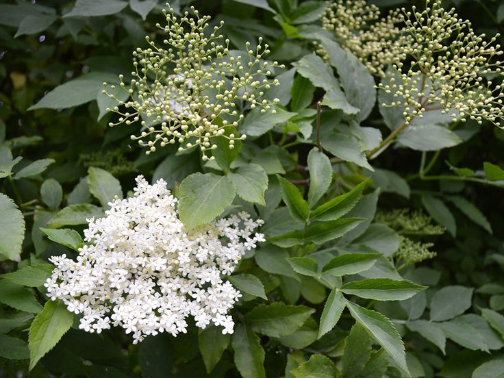 Recipe for Elderflower and Vanilla Jelly - a delicate topping for toast, cakes, and desserts #jelly